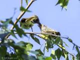 Parent feeding fledgling on Day 1.