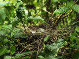 Great Crested Flycatcher nesting success.