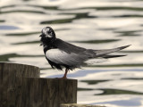 White-winged tern: details
