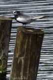 White-winged Tern: a rare visitor from across the Atlantic