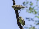 Dickcissels in Clinton County, PA, plus Seasonal bird photos