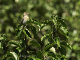 Female fledgling with larva P7300263.jpg