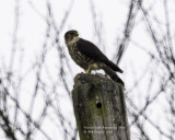 Merlin with Mourning  Dove
