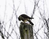 Merlin with prey I