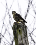 Merlin with prey ; plucking feathers