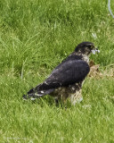 Merlin: heavily cropped image