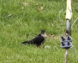 Merlin strikes terror in Howard Backyard