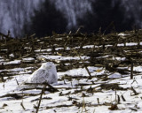 Snow Owl seen in corn field off Williams Rd, Center Hall, PA 1/6/18