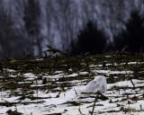 SNOWY OWL,  Williams Rd