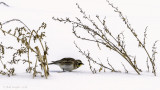 Horned Lark and pigweed in snow