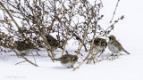 5 Horned Larks at pigweed
