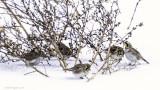 5 horned larks