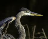 Great_Blue_Heron_Legs_IV_PB060298.jpg