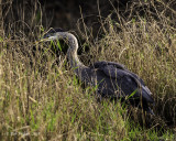 Great Blue Heron Juvenile released by wildlife rehabilitor
