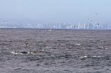 Brown Booby, Dolphins, San Diego skyline