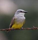 Western Kingbird