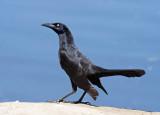 Blackbird-like Songbirds