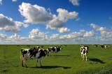 Banckspolder cows