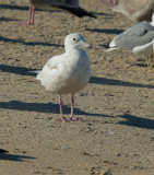 Glaucous Gull, first-cycle