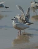 Glaucous Gull and Glaucous x (Herring?)Gull