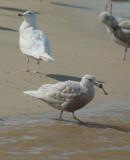 Glaucous Gull x (Herring?) and Glaucous Gull