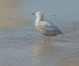 Glaucous Gull x (Herring?)