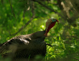 Wild Turkey, male in full breeding regalia