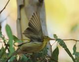Blackpoll Warbler, flying