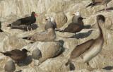 Black Oystercatcher, Brown Pelican, etc.