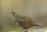 California Quail, female