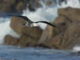 Heermann's Gull, adult flying