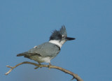 Belted Kingfisher, first-cycle