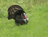 Wild Turkey, displaying male