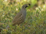 California Quail, male