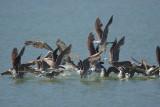 Heermann's Gulls and Brown Pelican, taking off