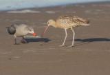Long-billed Curlew & Heermann's Gull 3