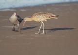 Long-billed Curlew & Heermann's Gull 2