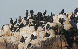 Brandt's and Double-crested Cormorants