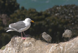Western Gull, adult and downy chicks