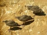 Western Gulls, juvenile