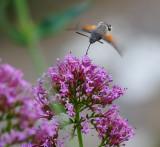 Hummingbird Hawk-Moth, Sillico, Garfagnana, Tuscany