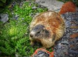 A Marmot in the Stelvio Pass