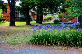 Kingston Agapanthus