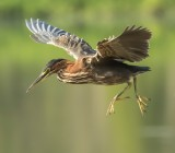 Green heron from Florida
