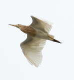 java_pond_heron