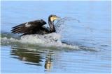 Incoming Cormorant