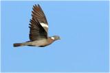 Wood Pigeon 1.JPG