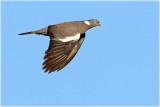Wood Pigeon 2.JPG