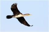 Cormorant Jv