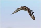 Black Tailed Godwit